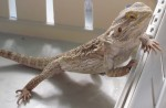 Lucy the Bearded Dragon